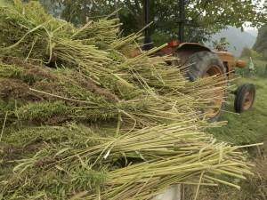 photo of harvested hemp for cellulose production